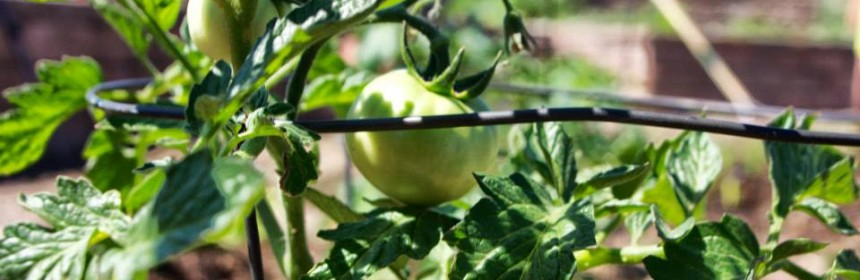 Close-up of a tomato plant at Ruby Hill Community Garden