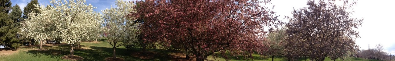 Panoramic view of the spring blossoms on trees at Ruby Hill Park